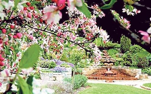 Chalice Apple Tree