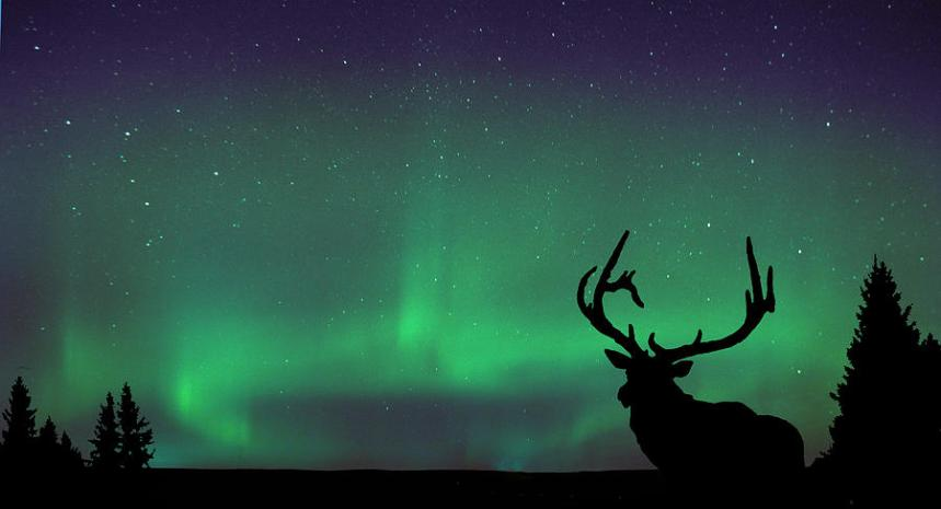 northern-lights-and-elk-angela-boyko